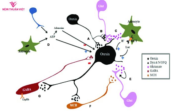 Orexin là chất dẫn truyền thần kinh