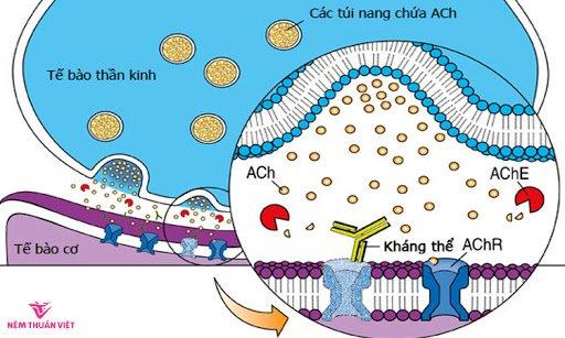acetylcholine là gì